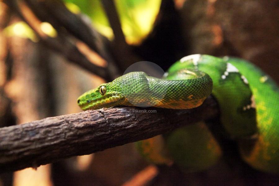 Green-Snake-pikenik
